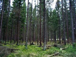Skogen ska sköts bäst av respektive medlemsland inom EU. foto: scanpix