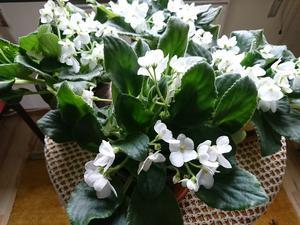 Saintpaulian behöver ingen speciell behandling.Den står i fönstret och blommar tålmodigt hela vintern, och får lite omvårdnad på våren, ny jord och delning. Foto: Berit Bergman
