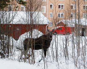 Den här bilden på en av älgarna vid Fornborgsvägen på Frösön togs några minuter innan den sköts.