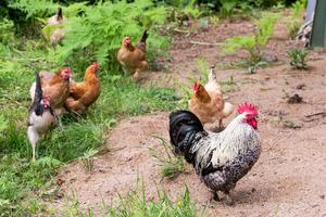 Sandra Hamilton har höns och vaktlar och kan hämta färska ägg när hon vill.