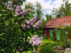 Syrénblom vid lilla ladan på Torpet Sjöhagen. Foto: Madeleine Rådestad
