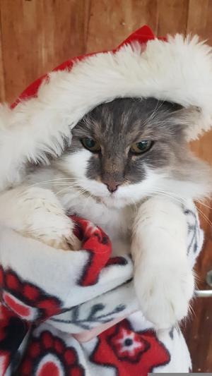 416) På bilden är vår ena hankatt, Linus. Han är en sur, bestämd men sällskaplig och go katt. I år ställer han upp och tävlar som årets lussekatt, och hoppas på att vinna för att hans älskade storebror ska få komma in till en klinik och få sitt haltande ben kollat på. Linus önskar er alla en God Jul Foto: Klara Högman