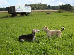 Vid ett besök i Kungsbyns inhägnad för hundar, träffade vi på två stiliga hundpojkar av rasen saluki. Den ena blev väldigt intresserad av vår hundtik, Vilsa och uppvaktade henne flitigt. Den andra verkade enbart intresserad av reklamen för bygdens mat...