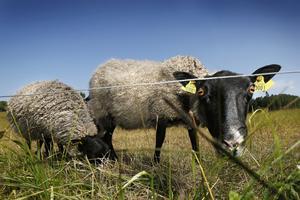 lammkött. Från de egna djuren säljs kött på hösten.