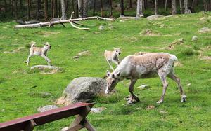 Renarna lekte tafatt i vårvädret, en favoritsysselsättning för de unga djuren.