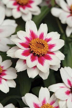 Zinnia 'Starlight Rose'. Förodlas i mars-april, planteras ut efter sista nattfrost och blommar sedan hela sommaren. Den är mycket tacksam och borde odlas mer! 'Starlight Rose' är en förtjusande tvåfärgad zinnia i mörkrosa och vitt. Plantorna är välförgrenade och blommorna ca 5 cm stora. Trivs extra bra i torra och soliga lägen. Resistent mot mjöldagg och andra sjukdomar. Har vunnit utmärkelsen All American Selection 2010. Foto: Jennys frön och sånt