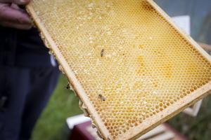 Vid visningsgården var det några bin som flög runt i luften. Men Gunnar Olsson försäkrar att de inte sticker så länge de inte känner sig tränga.