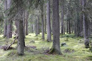 I den gamla skogen finns inga stubbar. Träden har fått falla av sig själv.