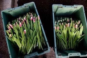 Tulpanerna lastas i backar i väntan på att bli förpackade.