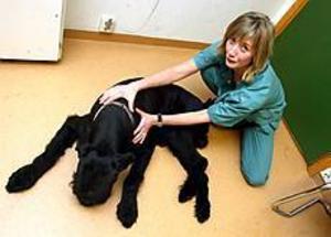 Sjukgymnastik är något som Chili, sex år, gillar. Ann Essner är utbildad och tjänstgör två dagar i veckan vid Gästrike djurklinik i Sandviken. Foto:Nick Blackmon