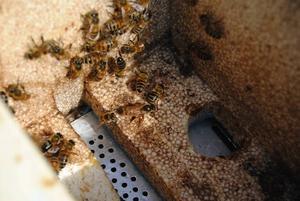 ANGRIPNA. I Gästrikland är alla bin smittade med varroakvalstret. På botten av den här kupan sitter bidrottningen som har mycket större bakkropp, har mera honung och större huvud.