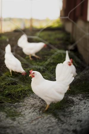 Elin, som växt upp i Hovsta i Örebro, trivs utmärkt på landet. Varje dag hämtar hon äggen som de 13 hönorna värper under förmiddagen.