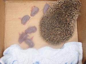 Mamma igelkott med sina 6 barn. Bild: Gerd Johansson