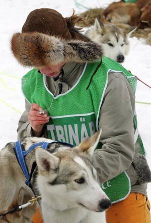 Veterinären Louise Adolfsson kontrollerar pulsen som en indikator på hundens kondition.