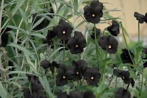 Svart viol. Molly Sanderson heter den svarta violen, vars skönhet som synes förstärks om den kombineras med någon silverskimrande växt. Kan övervintras men är känslig.