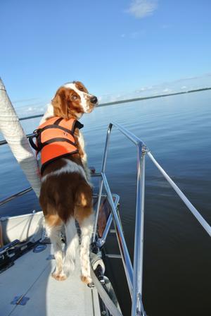 Solstrålen Milton tog sina första långa simtag denna varma och soliga dag, lördag 25/8. Här på familjen Norelius seglingbåt fick jag en perfekt bild på honom när han står och spanar.