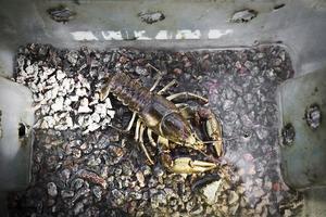 Flodkräftor har överlevt i ett år i burar vid fiskodlingen i Tallåsen.