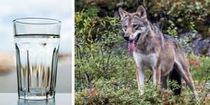 Vänsterpartiet uttrycker förvåning över hur styret i Askersund behandlar hotet av förgiftning av kommunens stora vattentäkt Vättern jämfört med hur vargfråga behandlas.  FOTO:  CHRISTINE OLSSON / TT och  PAUL KLEIVEN