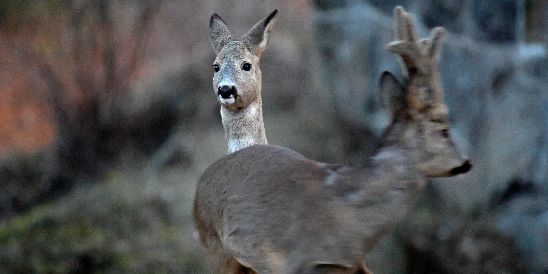 Rådjur påkört i Stavre – eftersöksjägare utkallad
