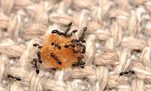 Myror lockas till köket, eftersom det är där födan finns. Här festar ett flertal myror loss på en matsmula.Bild: Matt Bertone/TT