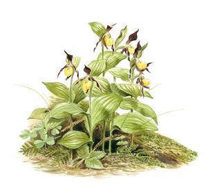 Den märkliga orkidén guckusko. Från utställningen i Hofors.