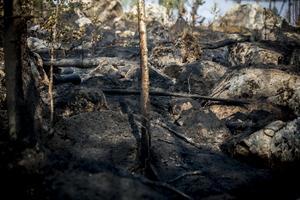 Omkring 300 hektar skog förstördes i branden.