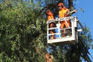 Alexander Fagerlund och en av hans kollegor kapar grenarna utifrån och in. Innan arbetet är klart ska hela trädet ha fällts.
