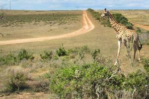 Foto: Leif Fredriksson Det var inte bara på safariturerna som det fanns chans att se djur. – Det var många vilda djur, bland annat zebror, giraffer och elefanter längs vägarna, särskilt i Botswana, säger Leif Fredriksson.