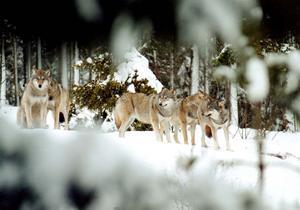 Enligt åklagaren har varg jagats och skjutits illegalt på flera platser i Hälsingland. Foto: arkiv