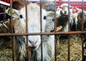 Baggen var längst fram och visade att det är han som bestämmer inne bland fåren.
