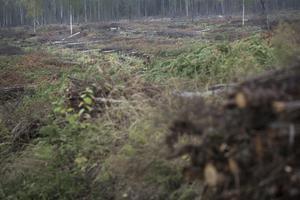 Skogen som är mellan 25 och 30 år har inte lämnats kvar. Risken för att de välter och skadar de nya plantorna anses vara för hög.