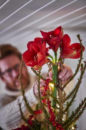 I toppen av granen har ett gäng ståtliga amaryllis placerats istället för en traditionell stjärndekoration. Under granen har Stefan Nilsson placerat mossa och blommande röda julstjärnor för att skapa en mysig, julig och naturlig känsla. Foto: Plantagen/Stefan Nilsson