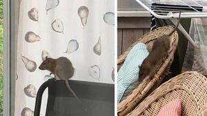 Den här råttan fångades på bild när den klättrade runt på altanmöblerna hemma hos en familj i Johannedal.