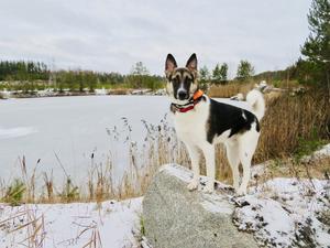 Om bilden: Hunden heter Boris och är 15 månader.Vi brukar gå långa turer runt olika sjöar på helgerna,bilden togs den 26 dec,i Lånsta grusgropen av de få frostiga dagarna vi haft i år. Foto: Yvonne Sundell