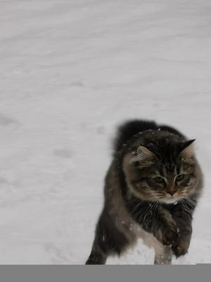 198) Härligt med bus i första snön tycker Holly. Hon är en Sibirisk katt på 7 månader som älskar att vara ute i kattgården Foto: Katarina Eklöf