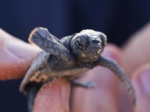 Nykläckta havssköldpaddor - snart hjälpta ut i havet.