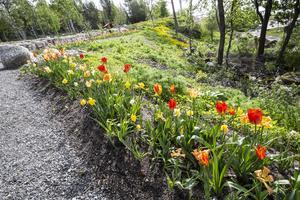 Påskliljor och tulpaner ståtar i rabatterna.