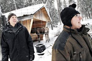 Petter och Lars Arkesjö utfodrar älgarna två gånger per dag.