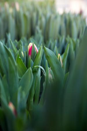 Julblommorna reas ut, nu är det hög tid för tulpanernas högtidssäsong.