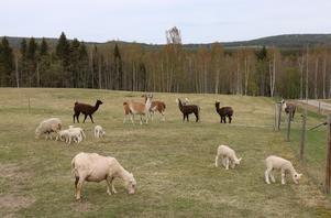 Hagarna med lamor, alpackor, får och lamm. I fjärran det grönt kuperade landskapet.