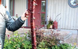 Vinröd trädstam i trädgården.