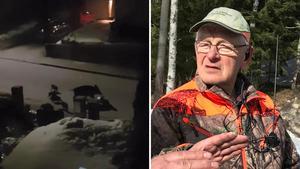 Natten mot onsdag syntes vildsvinen till igen inne i ett bostadsområde i Fagersta. Karl Johan Bylund berättar att det är första gången hans jaktlag tvingas fälla kultingar. BIlderna är tagna vid ett tidigare tillfälle. Foto: Läsarklipp/Lova Jappevik/Arkiv