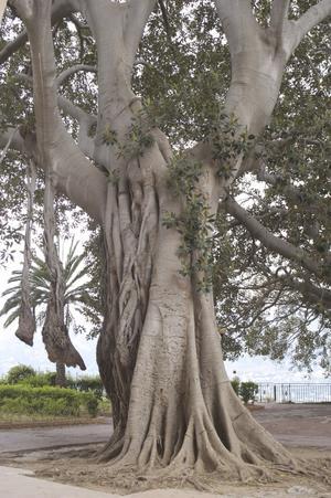 Gigantiskt träd utanför katedralen Monreale i Palermo, Sicilien