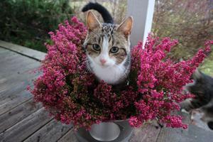 Carolina Erikssons katt älskar blommor men förstår inte att de är till dekoration – inte för att sitta på.