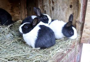 Den här kullen med kaninungar av rasen Holländsk kanin föddes i slutet av september. Namnen på kaninerna väljer Hanz ofta efter de två första bokstäverna som varit i kaninmammans namn. Heter mamman Vanessa kan en kaninunge få heta Vanilla exempelvis.