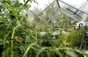 När sommaren börjar ta slut låter Maritha Thorén Svensson plantorna i växthuset växa vilt. Ett säkert hösttecken.
