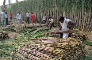 Sockerrörsodling i Indien i dag. Bild: AP Photo