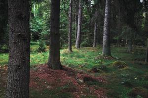 För Dalarnas del har länet i dagsläget omkring 290 miljoner ton koldioxid lagrad i den växande skogen. Skogssällskapet anser att det är bra för klimatet att sköta skogen aktivt.
