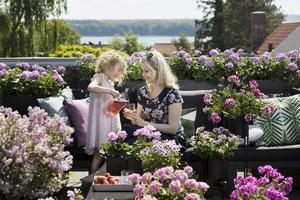 Foto: Pelargonium for Europe/ Blomsterfrämjandet. Pelargoner skapar semesterkänsla på din stora eller lilla uteplats.