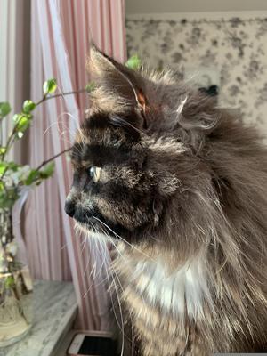 128) Jag satt och målade, tillslut hoppade Sune upp på skrivbordet och spanade ut genom fönstret på förbipasserande på gångvägen! Foto: Stina Lassfolk